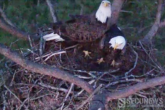 Un Aigle femelle qui couve ses oeufs, en Live via webcam