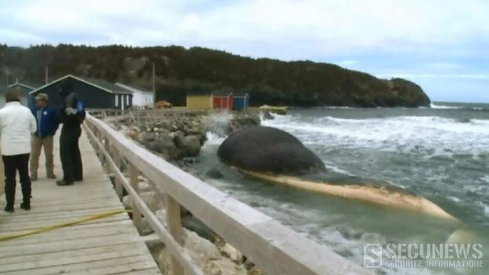 Une baleine bleue échouée menace d'exploser au Canada