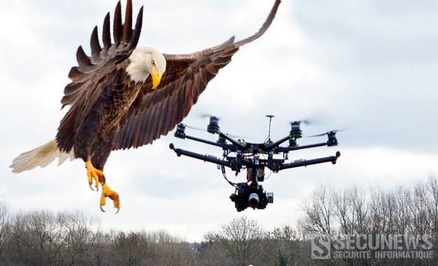 Aux Pays-Bas, la police dresse des aigles pour intercepter des drones