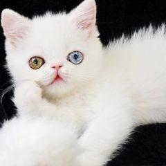 Avec ses yeux vairons, ce chat hypnotise les internautes